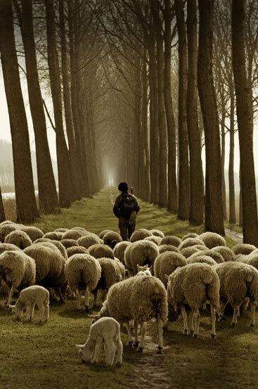 shepherd-and-sheep